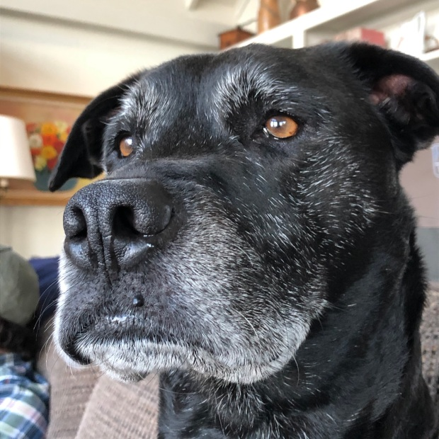 A photo of Laz, a dignified black lab/pit bull mix.